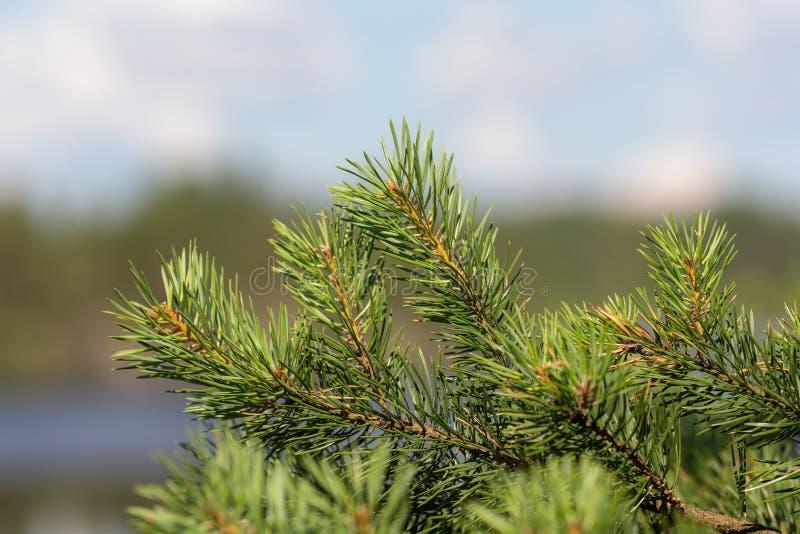 Rama del pino en el bosque foto de archivo