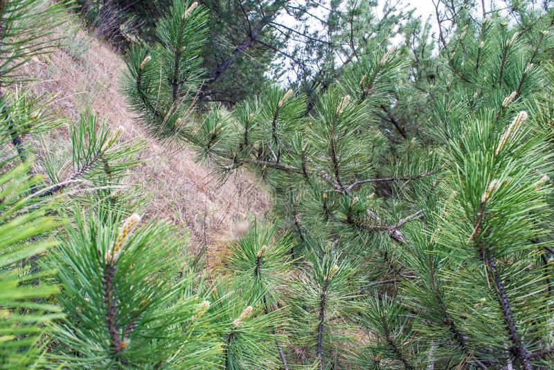 Rama del pino Primavera, frutas jovenes, y conos en un fondo del bosque verde fotos de archivo