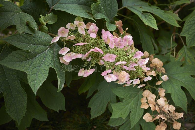 Rama del quercifolia de la hortensia con las hojas y la inflorescencia rosada imagen de archivo