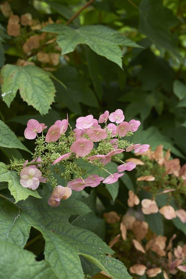 Rama del quercifolia de la hortensia con las hojas y la inflorescencia rosada fotos de archivo libres de regalías