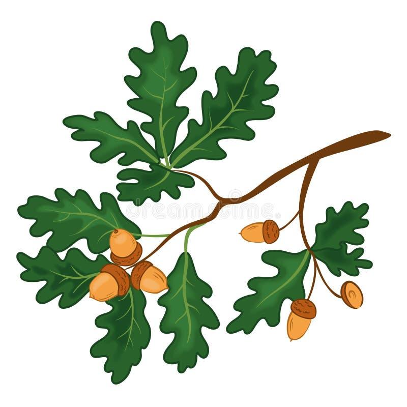 Rama del roble con las hojas y las bellotas stock de ilustración