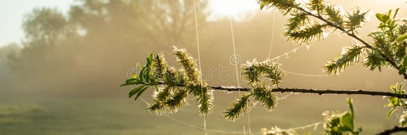 Rama del sauce con los brotes florecientes y follaje en una mañana brumosa soleada Estación de primavera, abril fotos de archivo libres de regalías