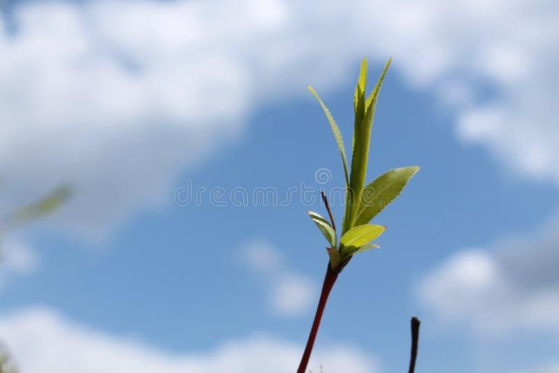 Rama del sauce contra el cielo azul fotografía de archivo libre de regalías