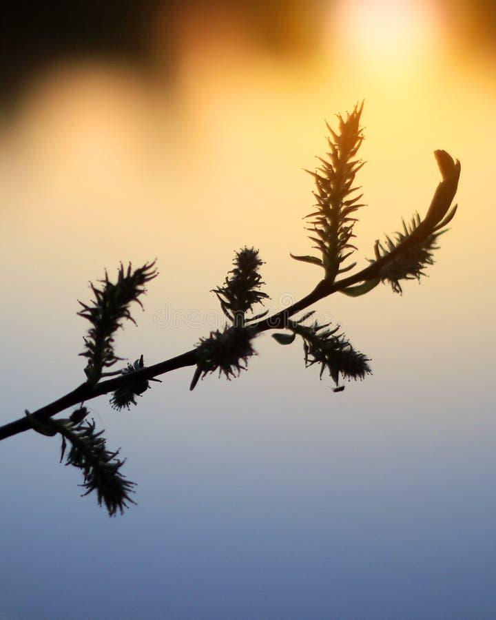 Rama del sauce contra la perspectiva de una puesta del sol o de una salida del sol, cielo dramático, fondo colorido Foco selectiv fotografía de archivo libre de regalías