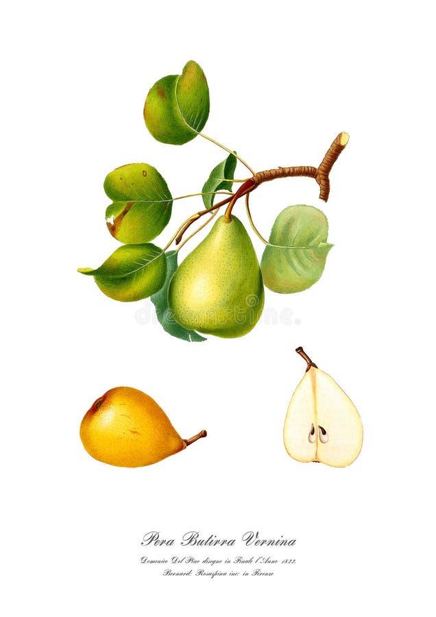Rama del watercolour del vintage del arte de dibujo de la pera stock de ilustración