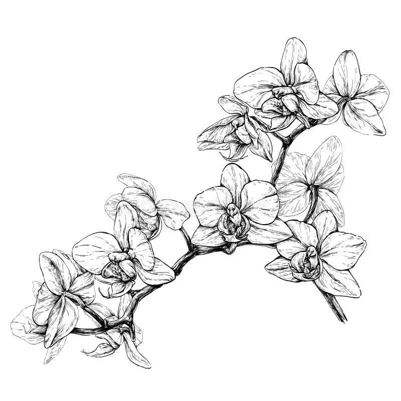 Rama dibujada mano de la orquídea Ejemplo del vector aislado en blanco stock de ilustración