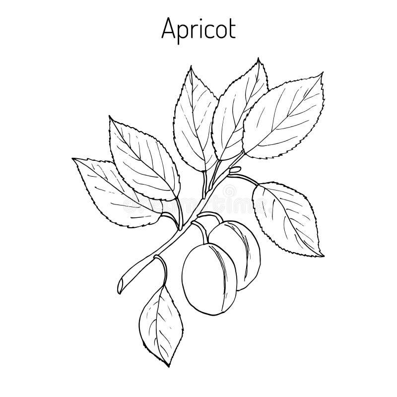Rama dibujada mano del albaricoque ilustración del vector