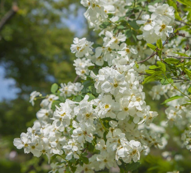 Rama enorme cubierta con las flores blancas ?rboles de florecimiento de la primavera en el jard?n imagen de archivo libre de regalías