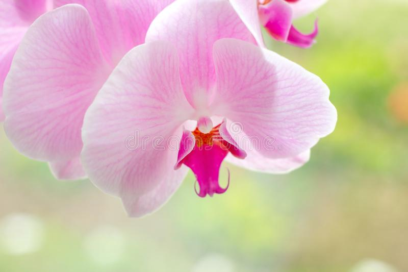 Rama exótica tropical hermosa con blanco, rosa y las flores magentas de la orquídea del Phalaenopsis de la polilla en verano fotos de archivo