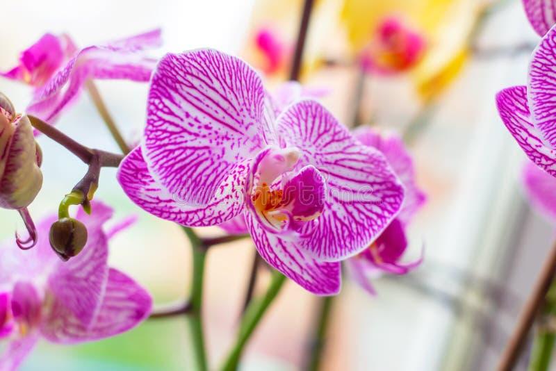 Rama ex?tica tropical hermosa con blanco, rosa y las flores magentas de la orqu?dea del Phalaenopsis de la polilla en primavera fotos de archivo libres de regalías