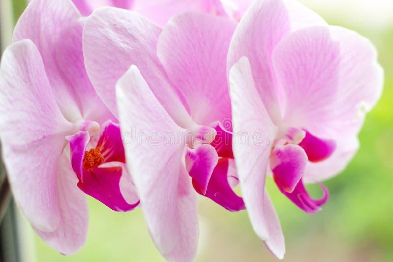 Rama ex?tica tropical hermosa con blanco, rosa y las flores magentas de la orqu?dea del Phalaenopsis de la polilla en primavera imagen de archivo