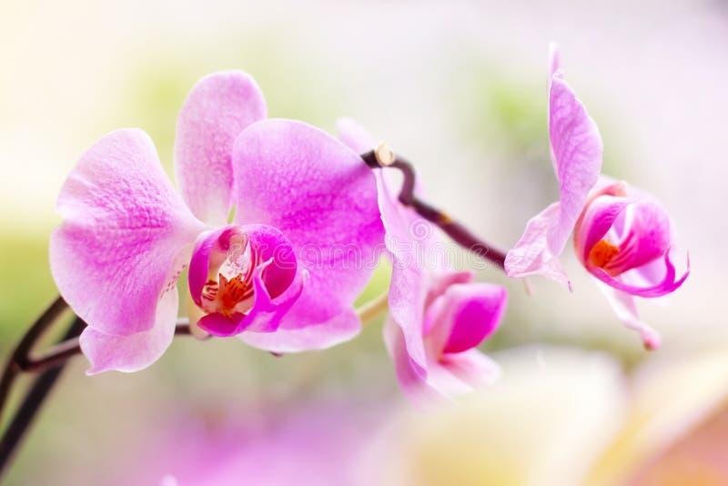 Rama ex?tica tropical hermosa con blanco, rosa y las flores magentas de la orqu?dea del Phalaenopsis de la polilla en primavera imágenes de archivo libres de regalías