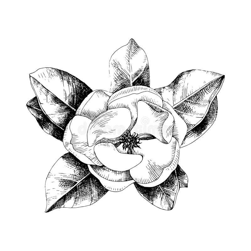 Rama exhausta de la magnolia de la mano stock de ilustración