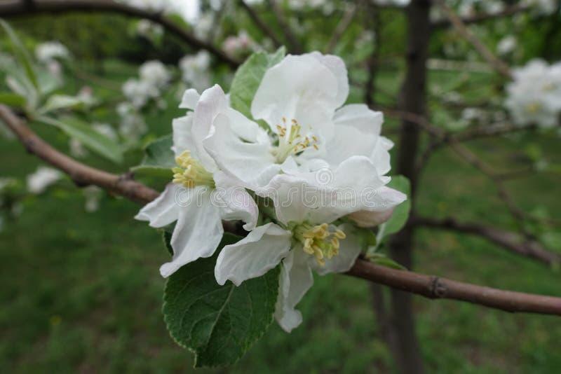 Rama fina de la manzana floreciente en primavera imagenes de archivo