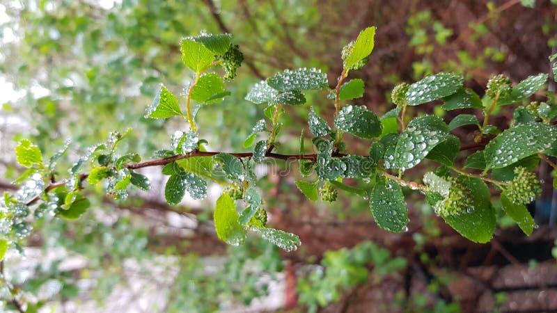 Rama fina larga con las pequeñas hojas mojadas y las gotitas de agua brillantes fotografía de archivo libre de regalías