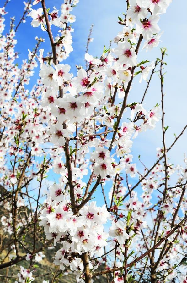 Rama florecida de la almendra imagenes de archivo