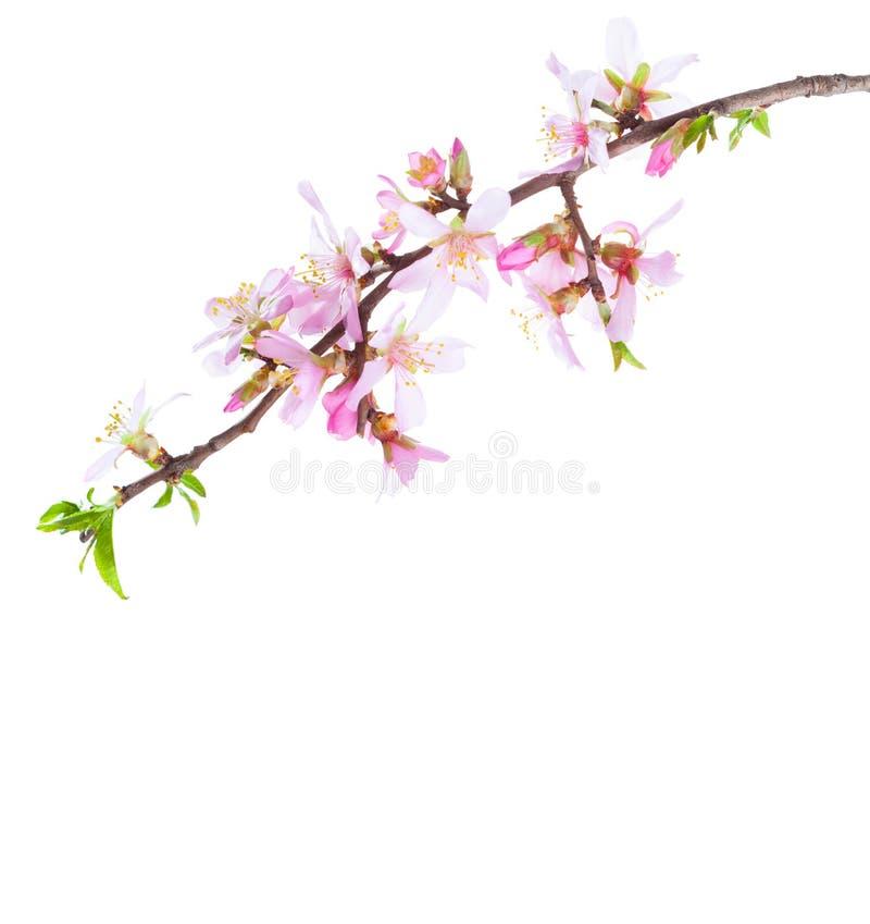 Rama floreciente de la almendra aislada en el fondo blanco imagen de archivo