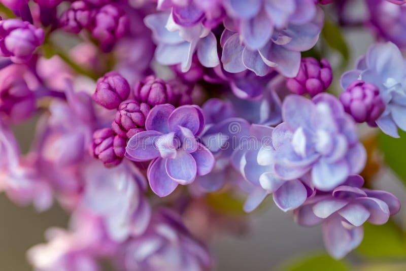 Rama floreciente de la lila en primavera Macro Floretes violetas de la primavera de la lila en un jardín foto de archivo libre de regalías