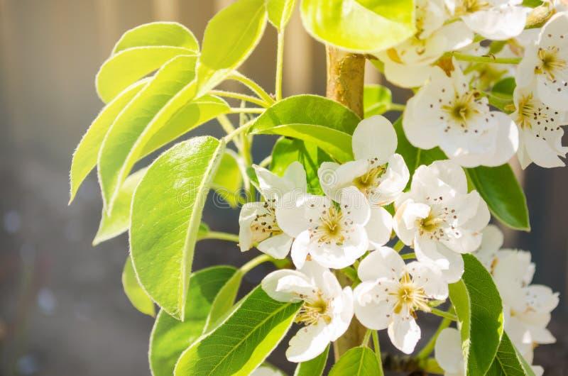 Rama floreciente de la pera Jard?n floreciente de la primavera Primer Flores Visi?n hermosa Foco selectivo imagen de archivo libre de regalías