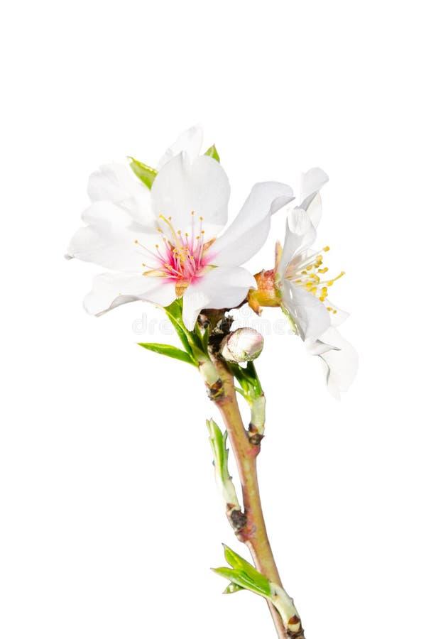 Rama floreciente de la primavera aislada en blanco imagen de archivo