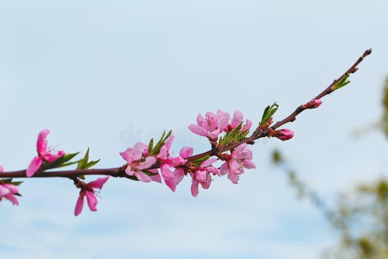 Rama floreciente de un melocotón fotografía de archivo libre de regalías