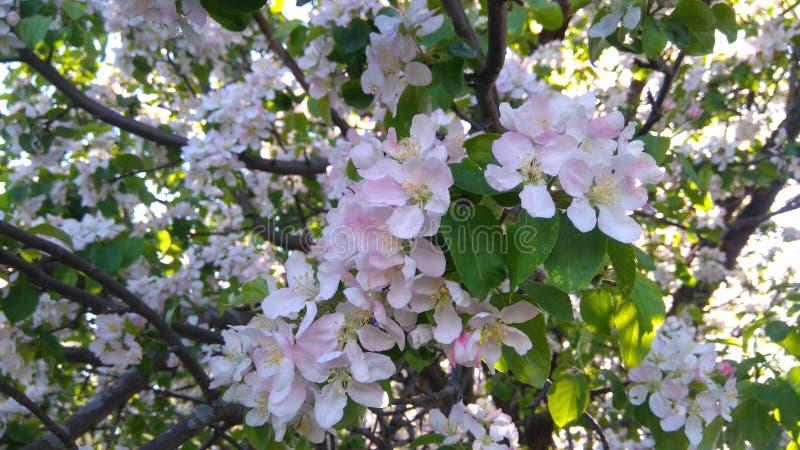 Rama floreciente del árbol fotos de archivo libres de regalías