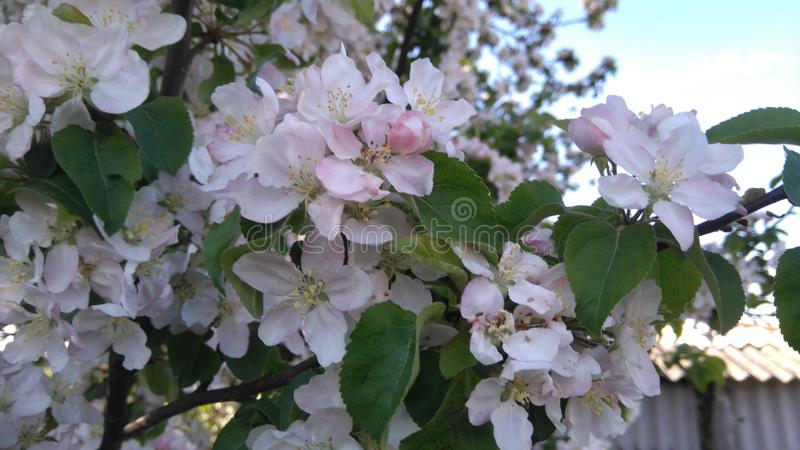 Rama floreciente del árbol imágenes de archivo libres de regalías