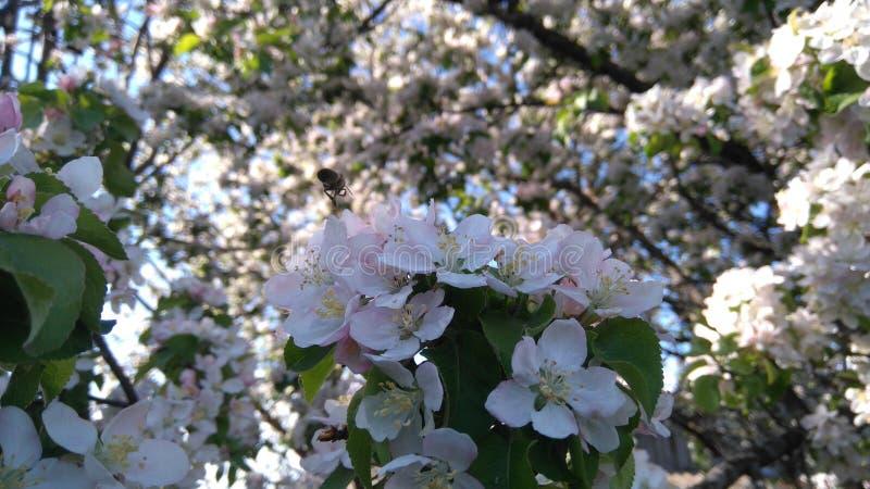 Rama floreciente del árbol foto de archivo