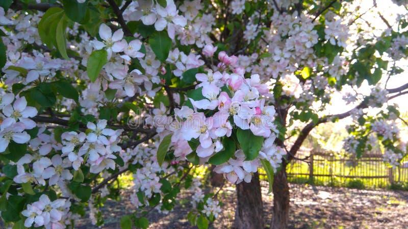 Rama floreciente del árbol imagen de archivo libre de regalías