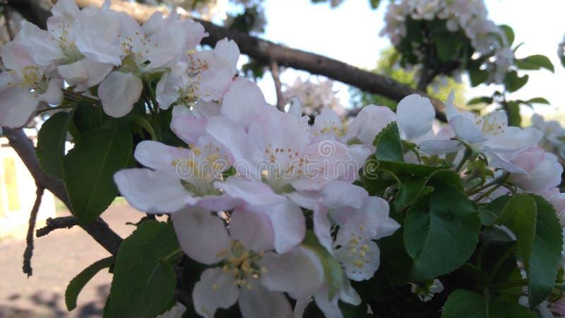 Rama floreciente del árbol imagenes de archivo