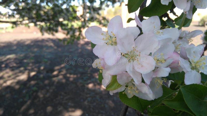 Rama floreciente del árbol foto de archivo libre de regalías