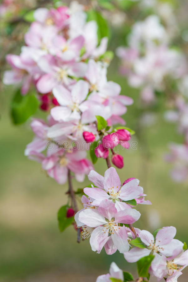 Rama floreciente del árbol de Crabapple fotos de archivo