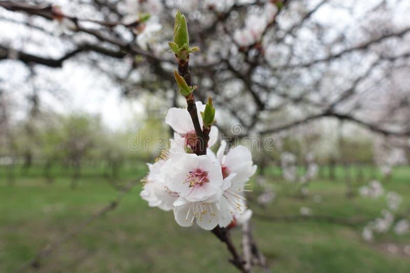 Rama floreciente del albaricoque en primavera foto de archivo