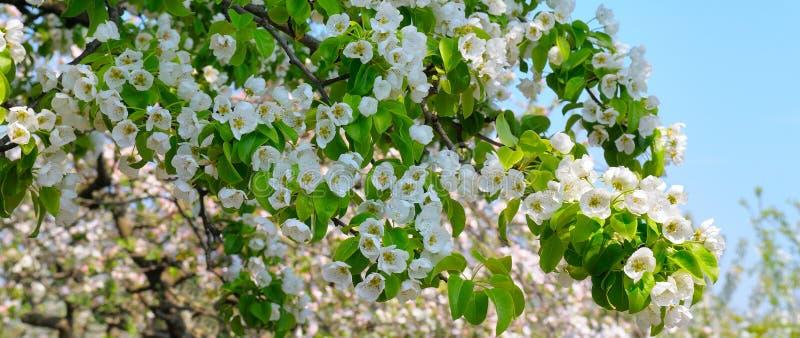 Rama floreciente del jardín floreciente de la primavera de la pera Foto ancha imagen de archivo