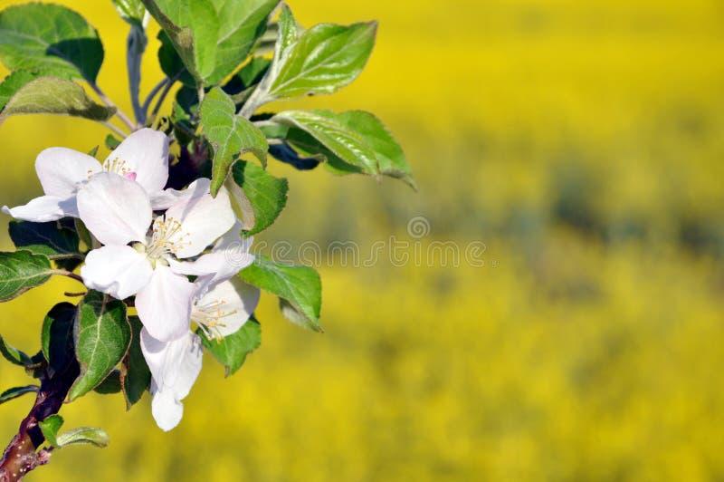 Rama floreciente del manzano imagen de archivo