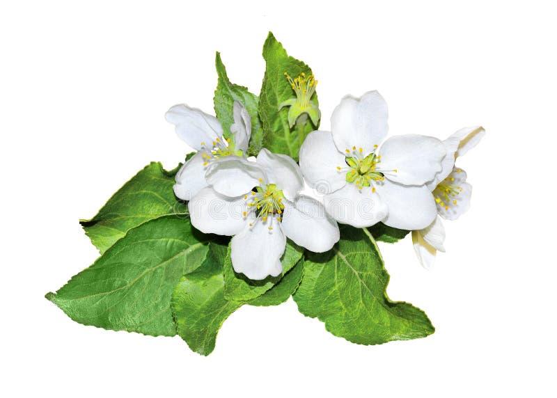 Rama floreciente del manzano en un fondo blanco aislado fotografía de archivo