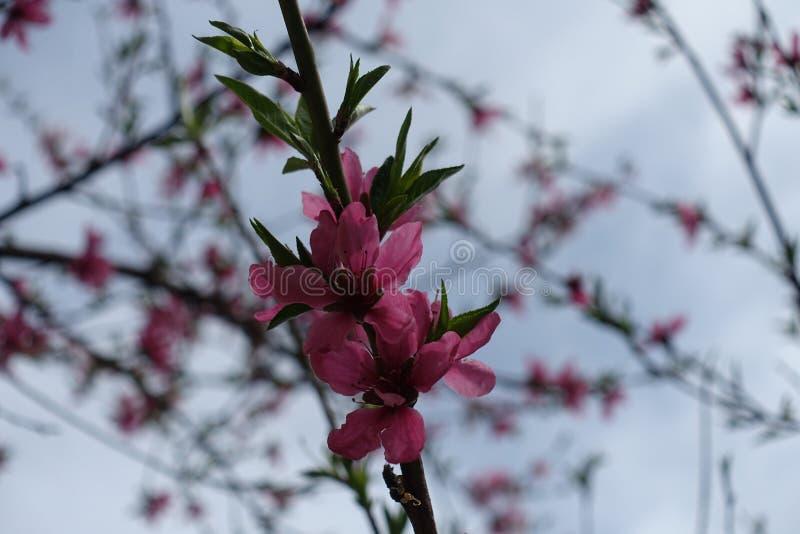Rama floreciente del melocotón contra el cielo imagen de archivo
