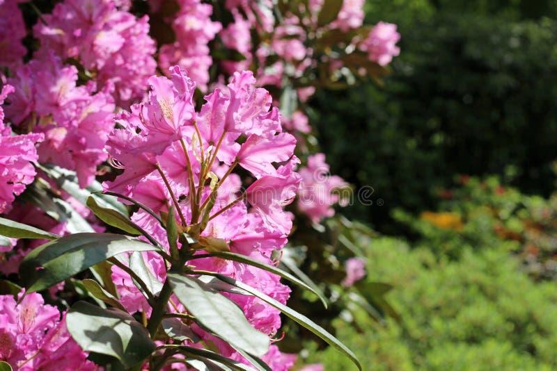 Rama floreciente del rododendro en el jardín de la primavera Flor rosada de la azalea imagenes de archivo