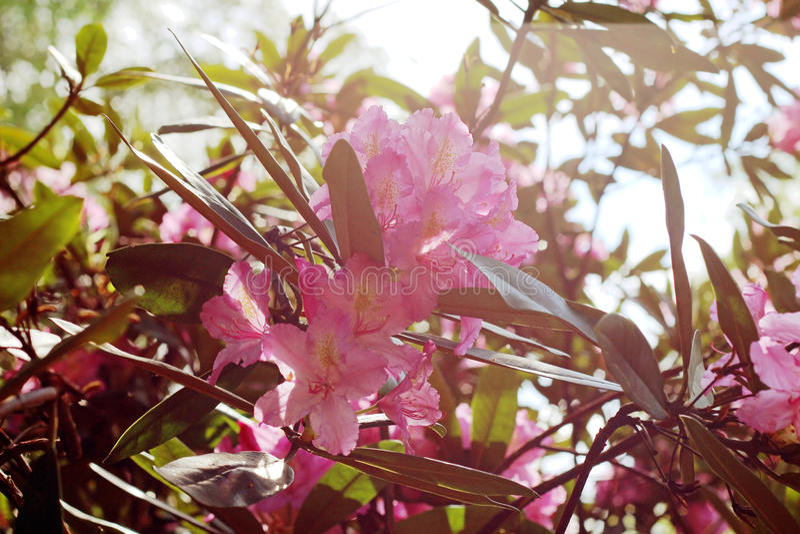 Rama floreciente del rododendro en el jardín de la primavera Flor rosada de la azalea fotos de archivo libres de regalías