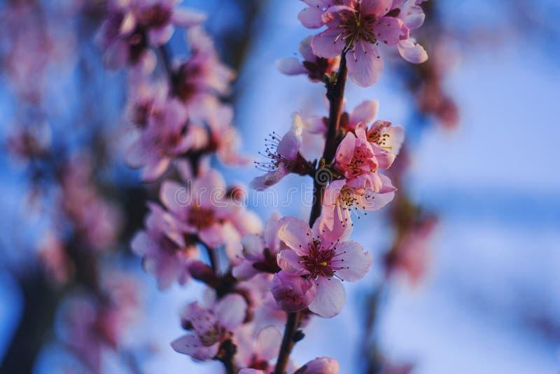 Rama floreciente rosada con el cielo como el backgroung fotos de archivo libres de regalías