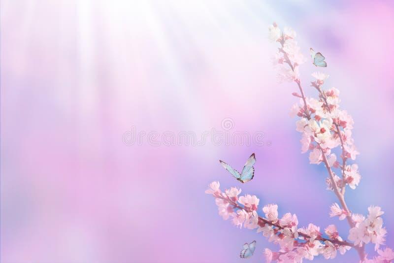Rama hermosa de la cereza floreciente y de la mariposa azul en primavera en la mañana de la salida del sol en fondo rosado, macra fotografía de archivo libre de regalías