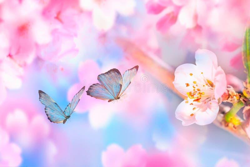Rama hermosa de la cereza floreciente y de la mariposa azul en primavera en la mañana de la salida del sol en fondo rosado, macra fotos de archivo libres de regalías