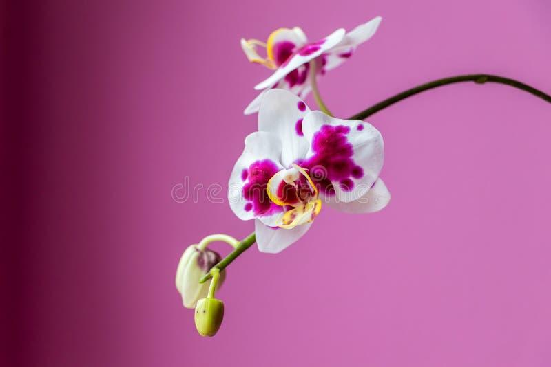 Rama hermosa de orquídeas rosadas fotos de archivo