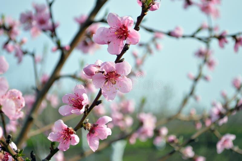 Rama hermosa del melocotón con las flores florecientes Plan medio foto de archivo
