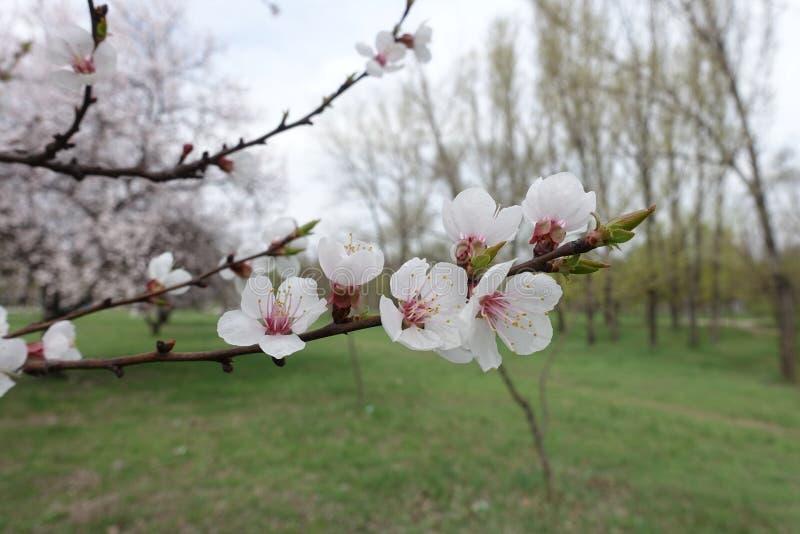 Rama horizontal del albaricoque floreciente en primavera imagen de archivo libre de regalías