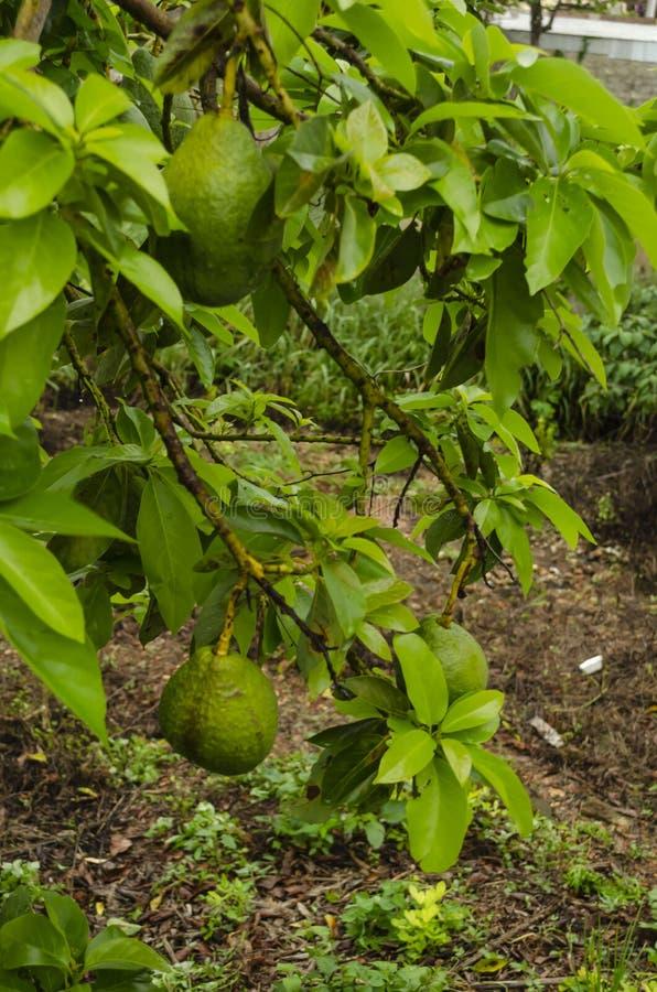 Rama lateral con sabor a fruta del aguacate imagenes de archivo