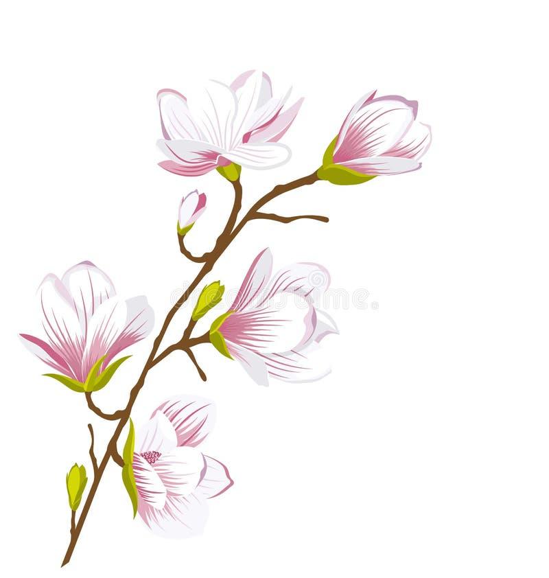 Rama linda de la magnolia, flores del flor ilustración del vector