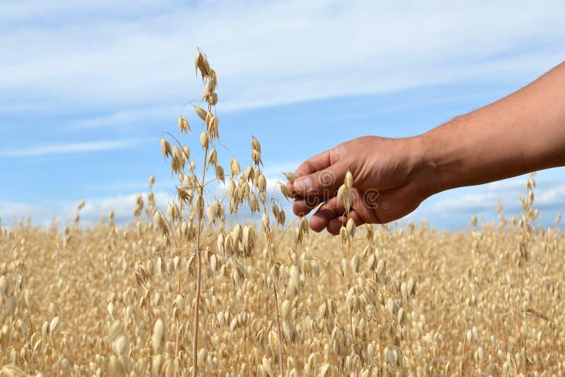 Rama masculina de la tenencia de la mano del grano de avena lista para la cosecha en campo agrícola el día de verano con el cielo fotografía de archivo libre de regalías
