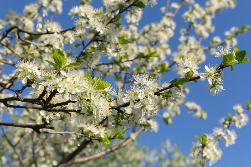 Rama mullida, blanca como la nieve del ciruelo con las hojas verdes jovenes contra el cielo despejado azul Flores blancos del cir imágenes de archivo libres de regalías
