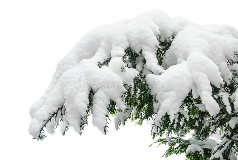 Rama nevada del abeto imagen de archivo